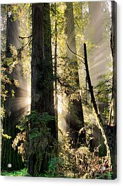 Old Growth Forest Light Acrylic Print by Leland D Howard