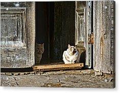 Old Knox Church Cats Acrylic Print by Nikolyn McDonald