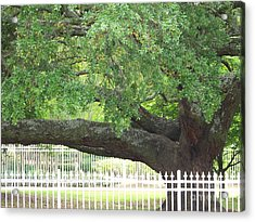 Old Oak Acrylic Print by Kevin Croitz