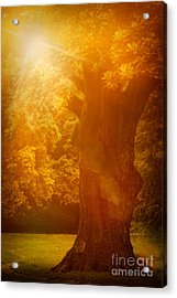 Old Oak Tree Acrylic Print by Mythja  Photography