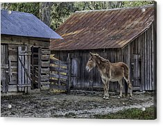 Old Red Mule Acrylic Print by Lynn Palmer