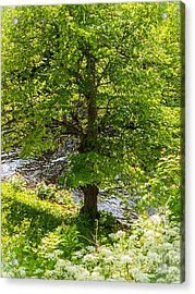 Old Small Leaved Lime At The Riverbank In Oravi Acrylic Print