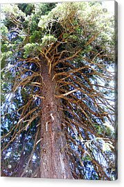 Old Tree 2 Acrylic Print