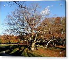 Old Tree In The Park Acrylic Print by Kate Gallagher