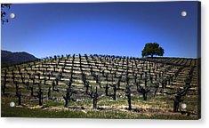Old Vines Panorama Acrylic Print by Karen Stephenson