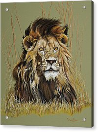 Old Warrior African Lion Acrylic Print