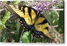 Acrylic Print featuring the photograph Old World Swallowtail by Jennifer Wheatley Wolf