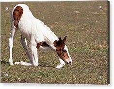 Oldenburg Filly Getting Acrylic Print