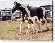 Oldenburg Mare And Foal Acrylic Print