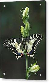 Oldworld Swallowtail Butterfly Acrylic Print