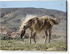Ole Dusty D9214 Acrylic Print by Wes and Dotty Weber