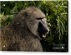 Olive Baboon   #0685 Acrylic Print by J L Woody Wooden