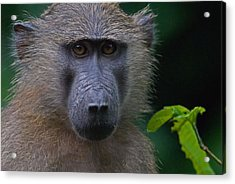 Olive Baboon Acrylic Print by Stefan Carpenter