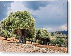 Olive Grove Acrylic Print