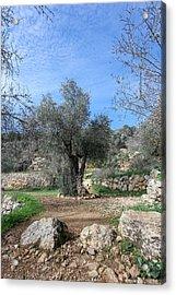 Olive Tree Acrylic Print