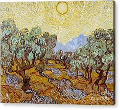 Olive Trees Acrylic Print by Vincent Van Gogh