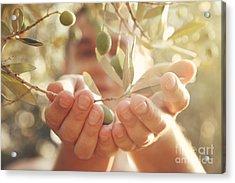 Olives Harvest Acrylic Print by Mythja  Photography