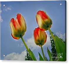 Olympic Flame Tulips Acrylic Print by MaryJane Armstrong