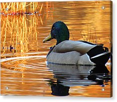 On Golden Pond Acrylic Print by Dianne Cowen