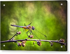 On Lookout Acrylic Print by Marvin Spates