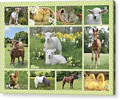 On The Farm Multipic Acrylic Print by Greg Cuddiford