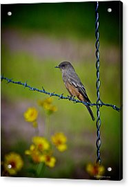 Acrylic Print featuring the photograph Say's Phoebe by Britt Runyon