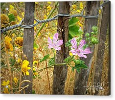 On The Fence Acrylic Print by Lainie Wrightson