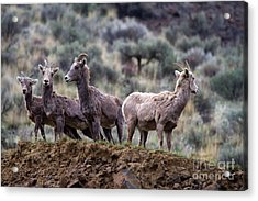 On The Ledge Acrylic Print by Mike  Dawson