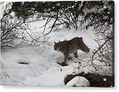 Acrylic Print featuring the photograph On The Prowl by Shane Bechler