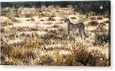 On The Prowl - Cheetah Photograph Acrylic Print