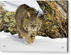On The Prowl Acrylic Print by Jack Milchanowski
