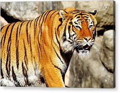Acrylic Print featuring the photograph On The Prowl by Jason Politte