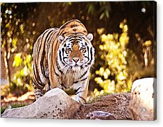 On The Prowl Acrylic Print by Scott Pellegrin