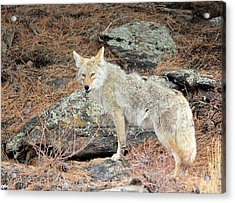 On The Prowl Acrylic Print by Shane Bechler