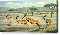 On The Run -  Impala Acrylic Print