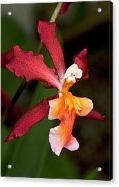 Oncidium Ornithorhynchum Hybrid Orchid Acrylic Print