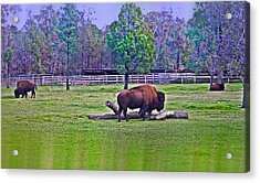 One Bison Family Acrylic Print