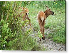 One Elk Calf With Stick In Mouth Acrylic Print by Piperanne Worcester