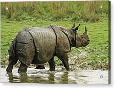 One-horned Rhinoceros, Coming Acrylic Print