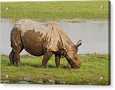 One-horned Rhinoceros Feeding Acrylic Print