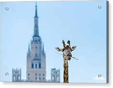 One More Bite To Outgrow The Tallest 2 Acrylic Print by Alexander Senin