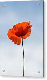 One Poppy Acrylic Print by Anne Gilbert
