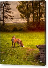 One Red Fox Acrylic Print by Bob Orsillo