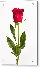 One Red Rose Acrylic Print by Adam Romanowicz