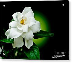 One Sensual White Flower Acrylic Print by Carol F Austin