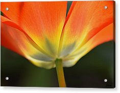 One Tulip Acrylic Print