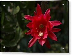 One Very Red Orchid Cactus Bloom - Showy Luminous And Elegant Acrylic Print by Georgia Mizuleva