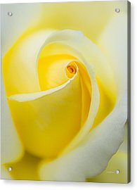 One Yellow Rose Acrylic Print