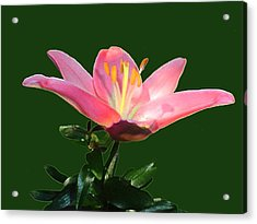 Open Pink Lily Acrylic Print by Annmarie Clarke