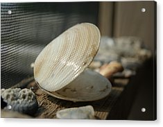 Open Seashell Acrylic Print by Anne Williamson
